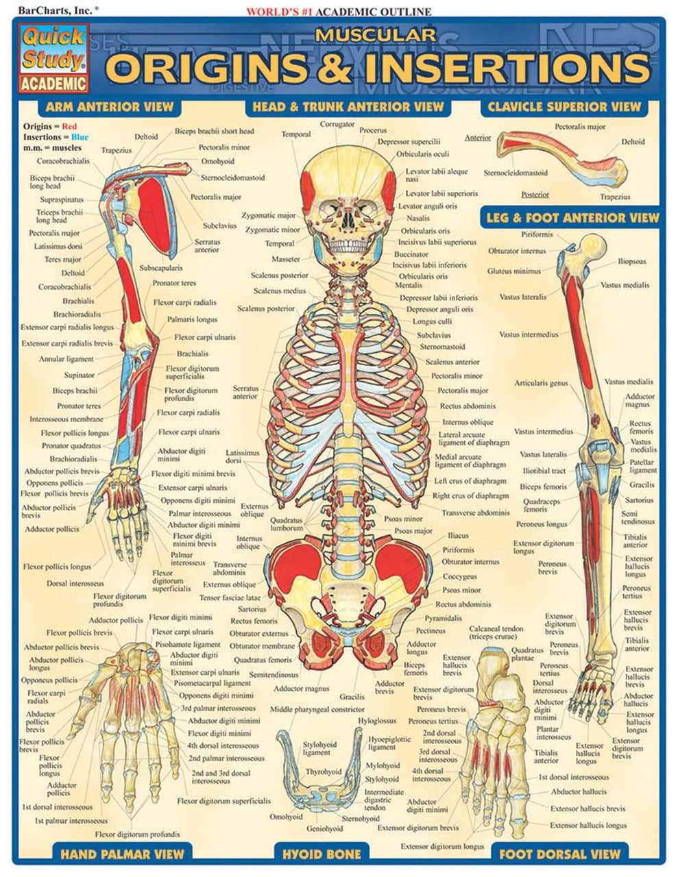 MUSCULAR ORIGINS AND INSERTIONS LAMINATED STUDY GUIDE