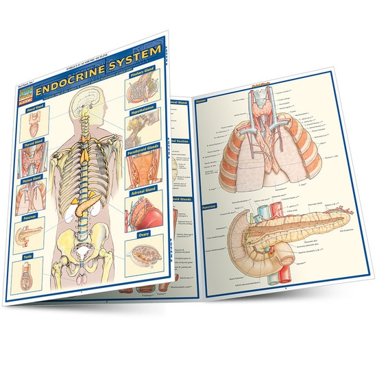 ENDOCRINE SYSTEM LAMINATED STUDY GUIDE