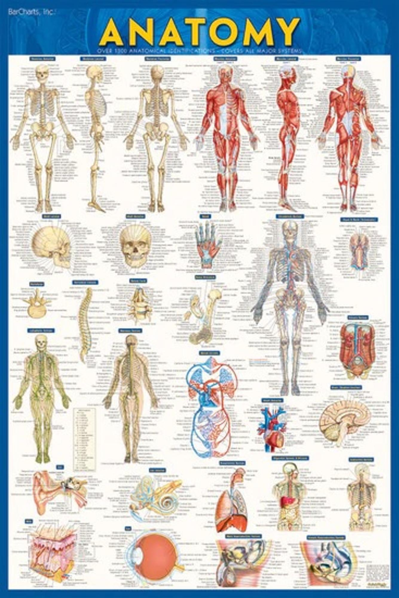 image of: ANATOMY PAPER POSTER